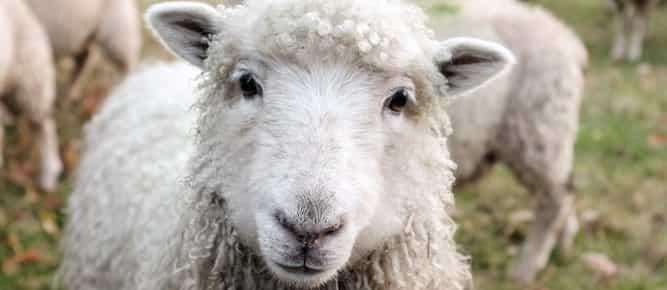 Wools